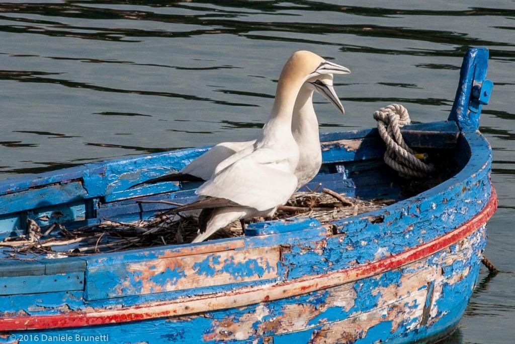 Portovenere (SP): sule bassane nel nuovo nido