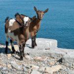 Caprette Isola Palmaria